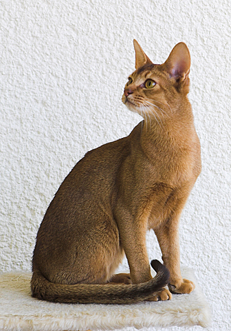 abyssinian-overview