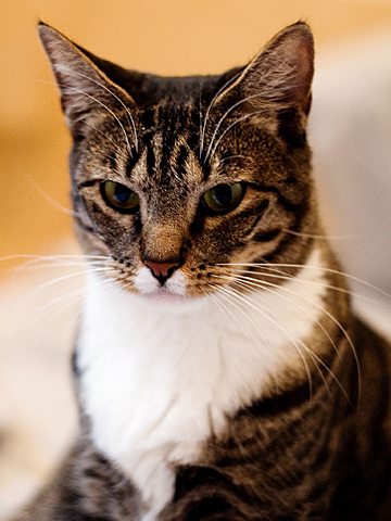americanshorthair-overview