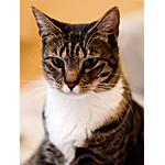 アメリカンショートヘア猫ってどんな種類?寿命はどれくらいなの