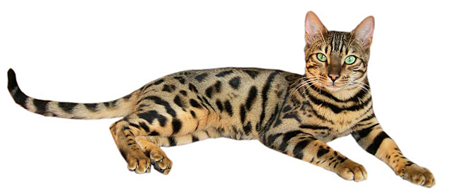 bengal-overview