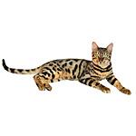 ベンガル猫ってどんな種類?寿命はどれくらいなの
