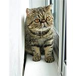 エキゾチックショートヘア猫ってどんな種類?寿命はどれくらいなの