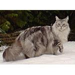 メインクーン猫ってどんな種類?寿命はどれくらいなの