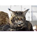 ナポレオン猫ってどんな種類?寿命はどれくらいなの