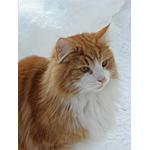 ノルウェージャンフォレストキャット猫ってどんな種類?寿命はどれくらいなの