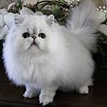 ペルシャ猫ってどんな種類?寿命はどれくらいなの