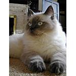 ラグドール猫ってどんな種類?寿命はどれくらいなの
