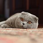 スコティッシュフォールド猫ってどんな種類?寿命はどれくらいなの