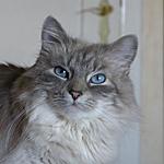 サイベリアン猫ってどんな種類?寿命はどれくらいなの
