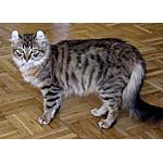 アメリカンカール猫ってどんな種類?寿命はどれくらいなの