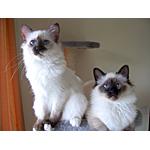 バーマン猫ってどんな種類?寿命はどれくらいなの