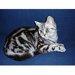 ブリティッシュショートヘア猫ってどんな種類?寿命はどれくらいなの