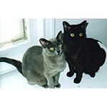 バーミーズ猫ってどんな種類?寿命はどれくらいなの