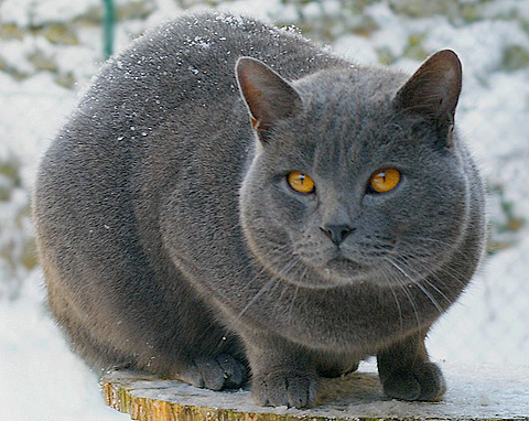chartreux-overview