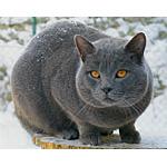 シャルトリュー猫ってどんな種類?寿命はどれくらいなの
