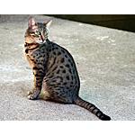 エジプシャン・マウ猫ってどんな種類?寿命はどれくらいなの
