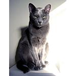 コラット猫ってどんな種類?寿命はどれくらいなの