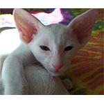 オリエンタル猫ってどんな種類?寿命はどれくらいなの
