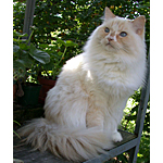 ラガマフィン猫ってどんな種類?寿命はどれくらいなの