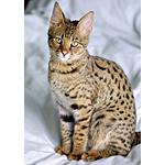 サバンナ猫ってどんな種類?寿命はどれくらいなの