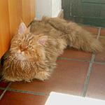 セルカークレックス猫ってどんな種類?寿命はどれくらいなの
