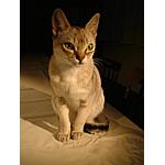 シンガプーラ猫ってどんな種類?寿命はどれくらいなの