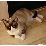 スノーシュー猫ってどんな種類?寿命はどれくらいなの