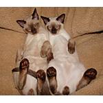 トンキニーズ猫ってどんな種類?寿命はどれくらいなの