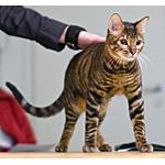 トイガー猫ってどんな種類?寿命はどれくらいなの