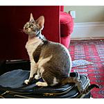 デボンレックス猫ってどんな種類?寿命はどれくらいなの