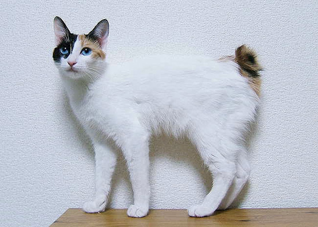 japanese_bobtail-overview