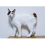 ジャパニーズボブテイル猫ってどんな種類?寿命はどれくらいなの