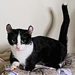 キンカロー猫ってどんな種類?寿命はどれくらいなの
