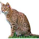 オシキャット猫ってどんな種類?寿命はどれくらいなの