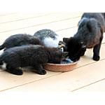 猫の餌を手作りする際のレシピは年齢や病気になるリスクに要注意