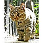 アメリカンボブテイル猫ってどんな種類?寿命はどれくらいなの