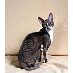 コーニッシュレックス猫ってどんな種類?寿命はどれくらいなの