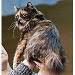 キムリック猫ってどんな種類?寿命はどれくらいなの