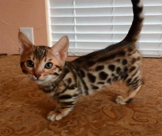 kind_of_cat-genetta_overview