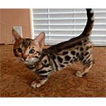 ジェネッタ猫ってどんな種類?寿命はどれくらいなの?