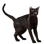 ハバナブラウン猫ってどんな種類?寿命はどれくらいなの