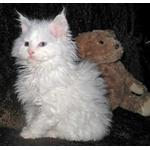 ラムキン猫ってどんな種類?寿命はどれくらいなの