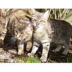 ピクシーボブ猫ってどんな種類?寿命はどれくらいなの