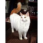 ターキッシュバン猫ってどんな種類?寿命はどれくらいなの
