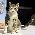 アメリカンワイヤーヘア猫ってどんな種類?寿命はどれくらいなの