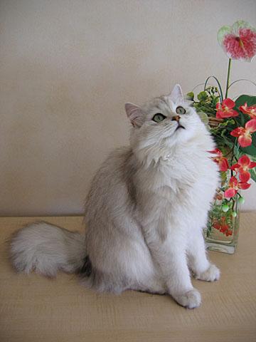 kind_of_cat-british_longhair