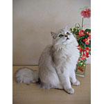 ブリティッシュロングヘアー猫ってどんな種類?寿命はどれくらいなの