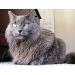 ネベロング猫ってどんな種類?寿命はどれくらいなの