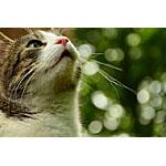 食物繊維たっぷり!キャベツで猫の手作りの餌に挑戦するレシピ