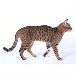 斑点模様が特徴的な種類の猫カリフォルニアスパングルドの歴史や寿命